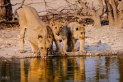 21st Sep 2017 - Lions at the waterhole