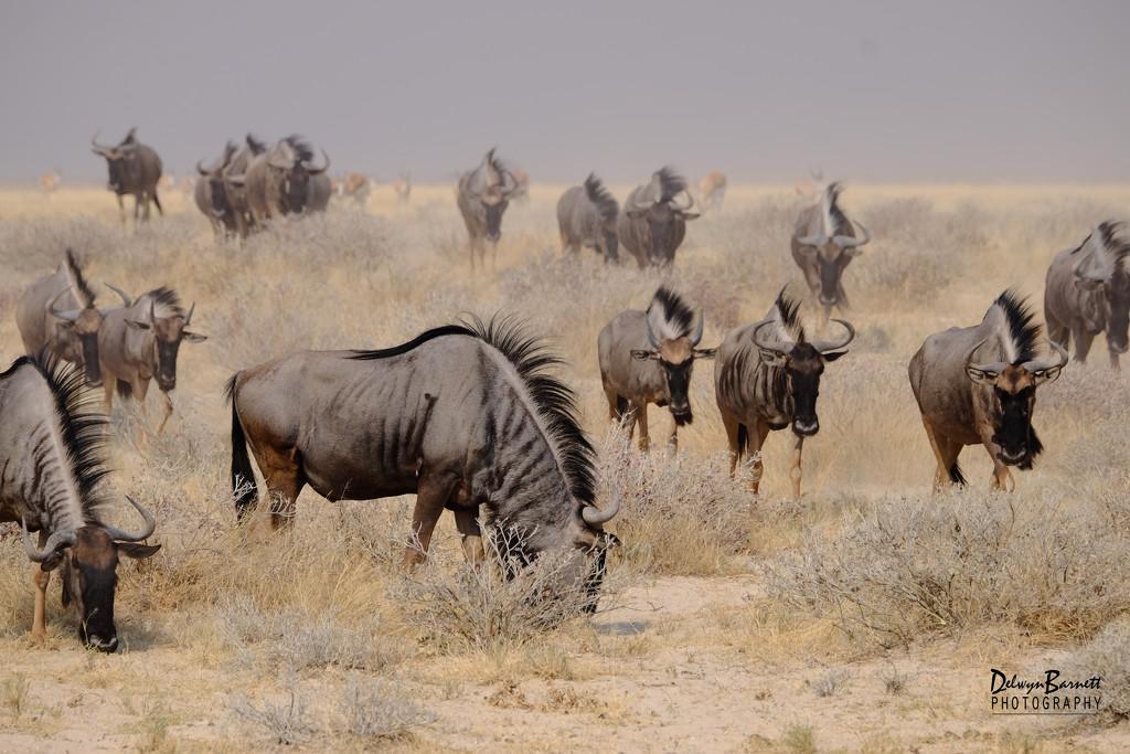Wildebeest by dkbarnett