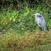 Heron Hanging Around