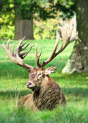 3rd Oct 2017 - Woburn Abbey Stag