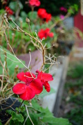3rd Oct 2017 - Geraniums are very red in nature