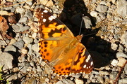 3rd Oct 2017 - Painted Lady. Parker River Wildlife Refuge