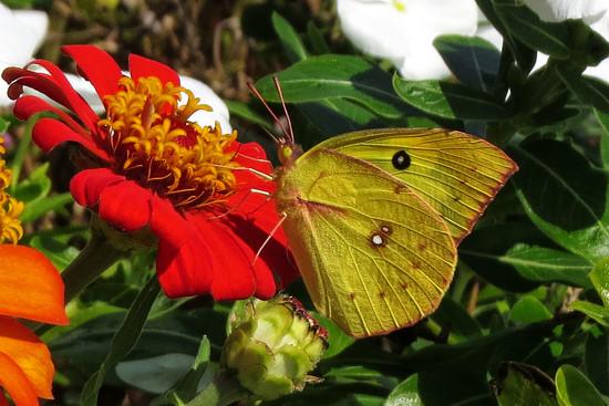Only Butterflies Left by milaniet