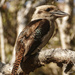 Kookaburra by hrs