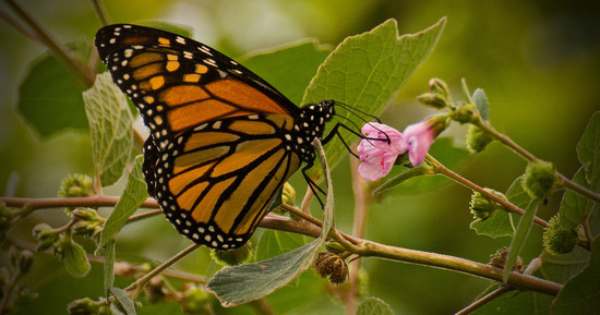 Monarch Butterfly's Were Everywhere! by rickster549