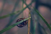 3rd Oct 2017 - Acacia leaf beetle