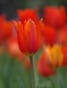 4th Oct 2017 - Orange tulips