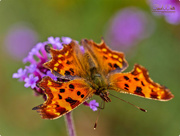 4th Oct 2017 - Comma Butterfly