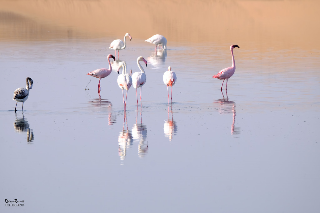 Flamingos by dkbarnett