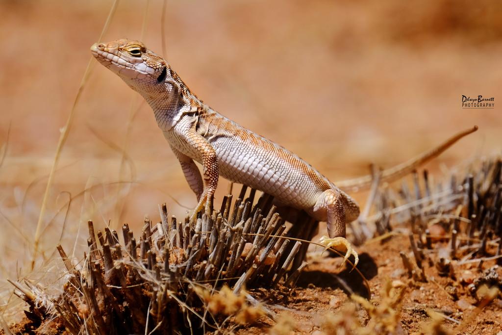 Sand Lizard by dkbarnett