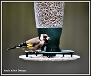 4th Oct 2017 - Goldfinch