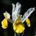 Yellow Iris  by nicolecampbell