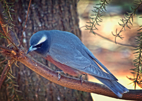 White-browed Woodswallow by annied