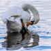 Preening Swan by carolmw