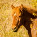 Icelandic horse by elisasaeter