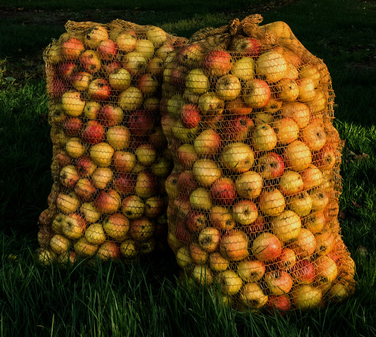 276 - Cider Apple Harvest by bob65