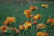 5th Oct 2017 - Chrysanthemum