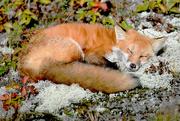 5th Oct 2017 - Sleepy little fox!