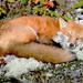 Sleepy little fox! by fayefaye