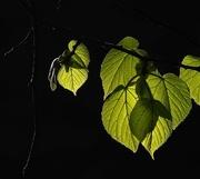 6th Oct 2017 - Early morning back lit spring elm leaves