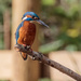 Handsome Male Kingfisher by padlock