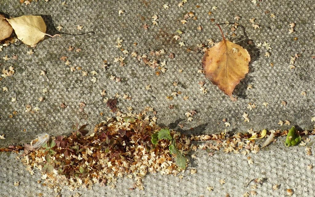 Silver Birch Seeds? by g3xbm