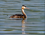 6th Oct 2017 - Great Crested Grebe