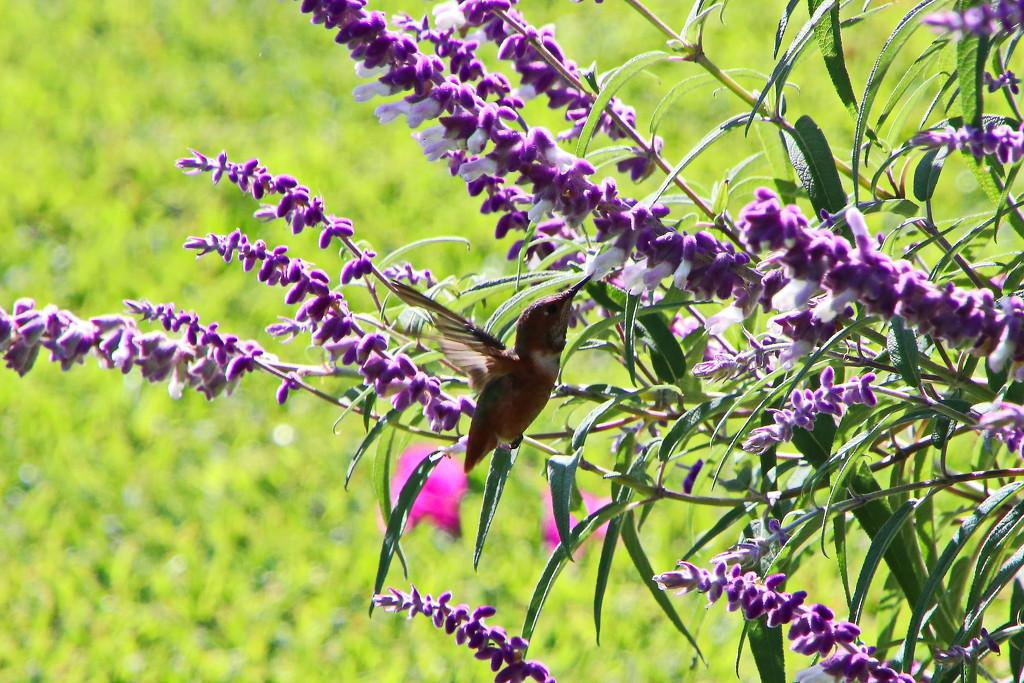 My Second Hummingbird by terryliv