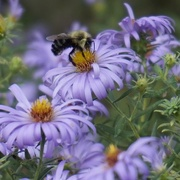 6th Oct 2017 - Bee and aster