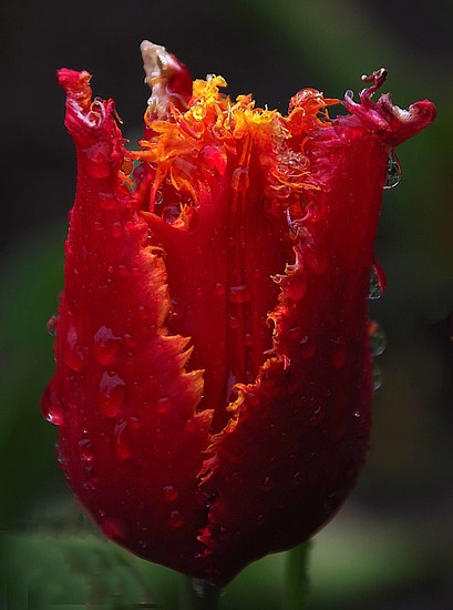 Frilly tulip in the rain by maureenpp
