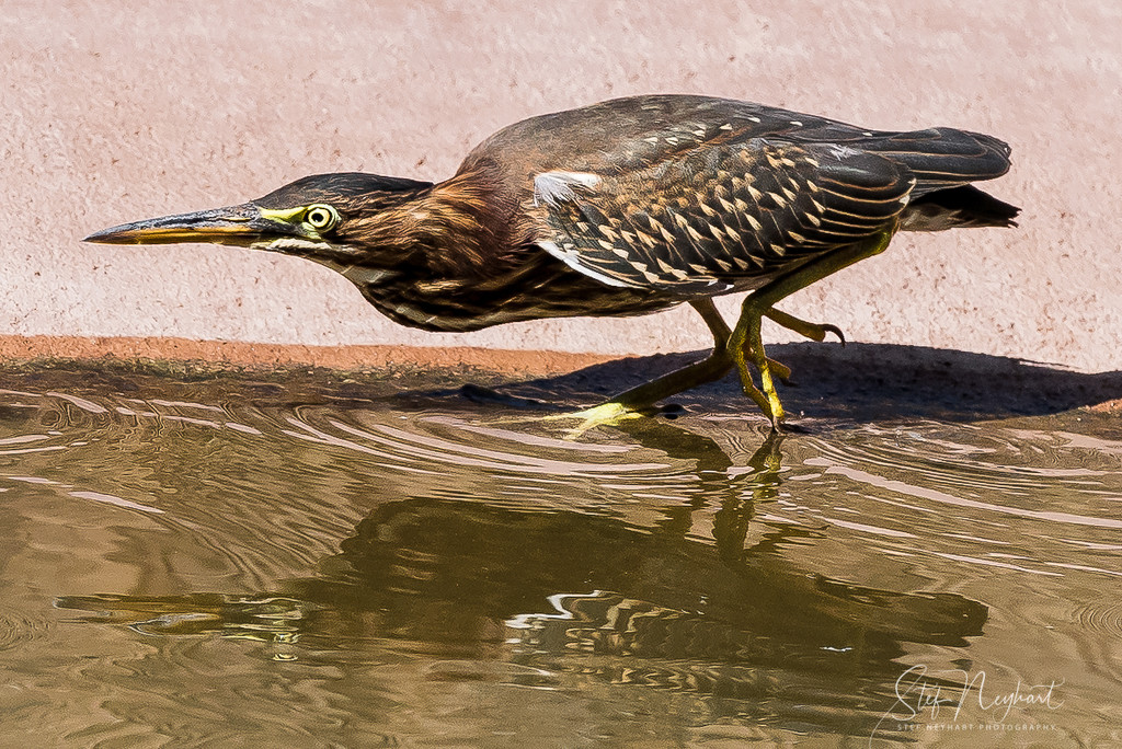 Green Heron Hunting by stefneyhart