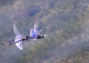 24th Sep 2017 - Monet's Dragonfly Lovers