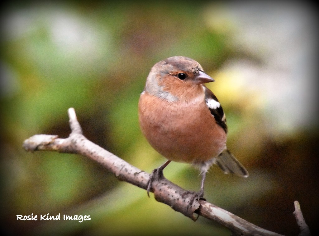 Mr Chaffinch by rosiekind