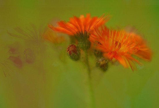 Orange weeds..... by ziggy77