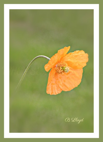 Poppy  by beryl
