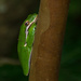 Tree Frog Taking a Snooze! by rickster549