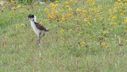 9th Oct 2017 - Spur-winged Plover fluff ball