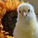 Blue-eyed Chick by kareenking