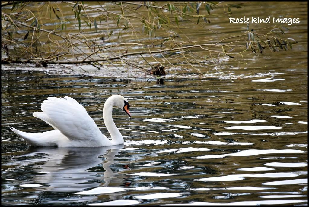 Graceful as a swan by rosiekind