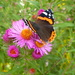 Red Admiral butterflies on these Michaelmas Daisies by snowy