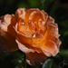 New Orange Rose