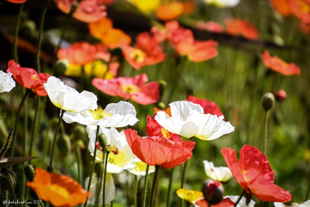 Poppies by yorkshirekiwi