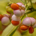 Seeds Of Euonymus.