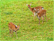 10th Oct 2017 - Fallow Deer,Woburn Deer Park