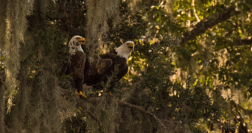 Bald Eagles in the Tree! by rickster549