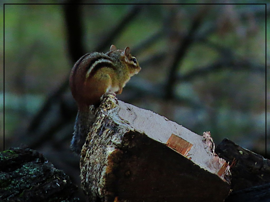 Mr. Chips Conquers the Woodpile by olivetreeann