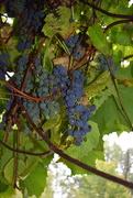 29th Sep 2017 - sour grapes
