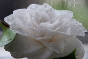 11th Oct 2017 - White camellia