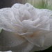 White camellia by maureenpp
