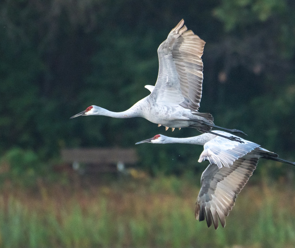 Early morning flyby with sandhill cranes by dridsdale